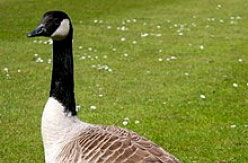 Canada Goose shooting in the Scottish Borders