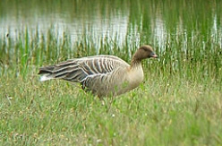 Pink Footed Goose shooting in Scotland