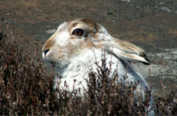 Blue hare shooting in Scotland