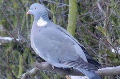 Pigeon shooting in Scotland
