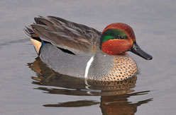 Teal shooting in the Scottish Borders